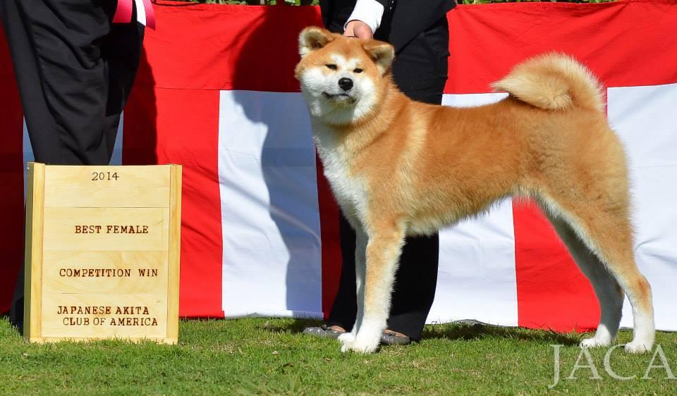 Best Female JACA UKC Nihonken Invitational 2014