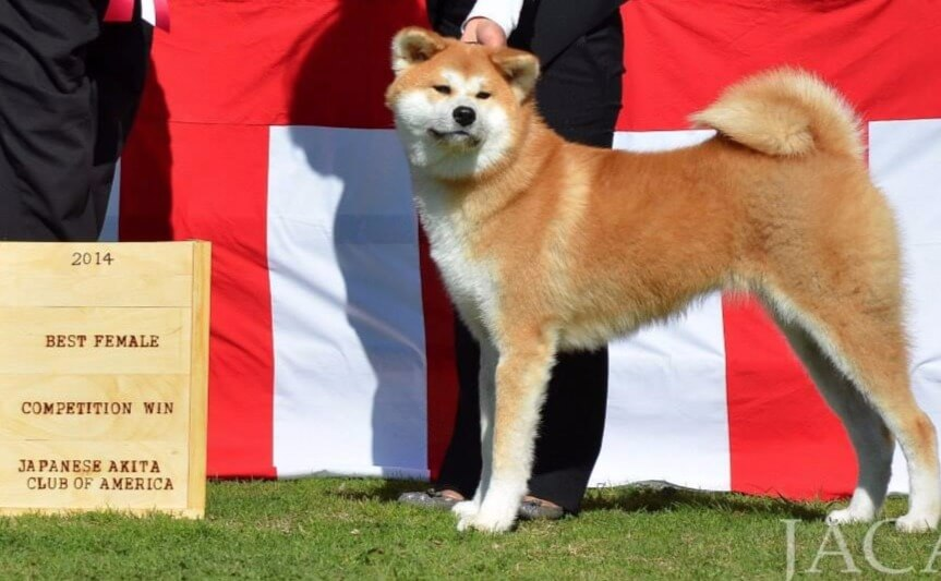 Japanese Akita Best Female 2014