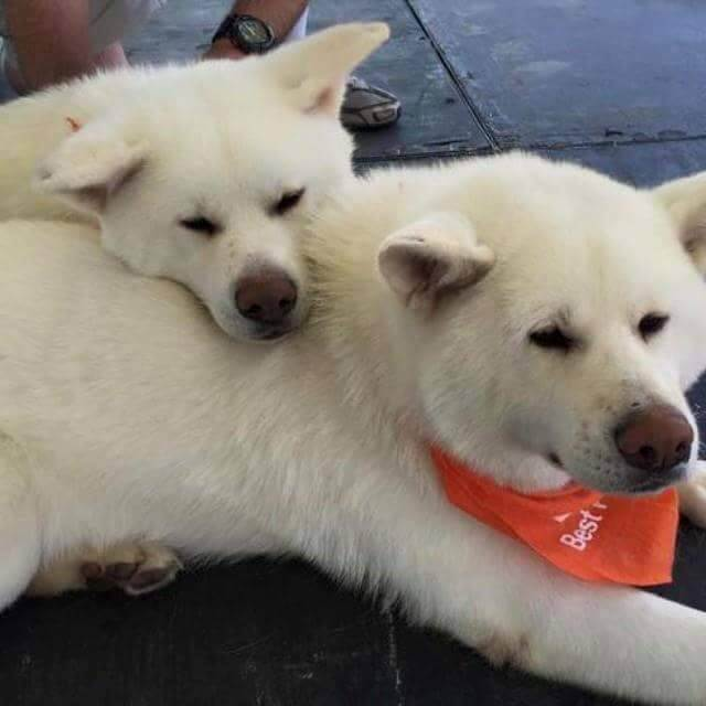Bonded Japanese Akita rescues Asher and Scarlet.