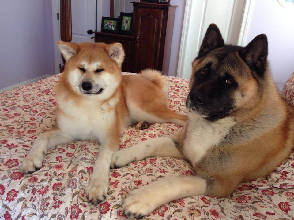 Japanese Akita and American Akita